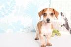 Nathan Cute Male Dachshund Puppy