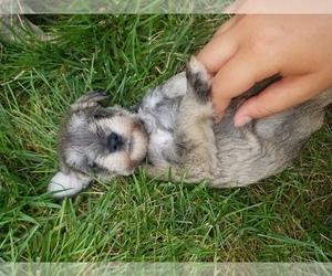 Schnauzer (Miniature) Dog for Adoption in LEESBURG, Virginia USA