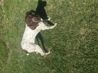 German Shorthaired Pointer Puppy For Sale in LIBERTY HILL, TX