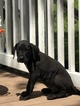Great Dane Puppy For Sale in LINCOLN, Delaware,