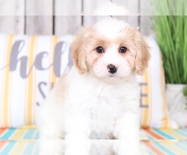 PuppyFinder com - View Ad: Photo #1 of Listing Cavapoo Puppy