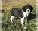 Small Australian Shepherd-Beagle Mix