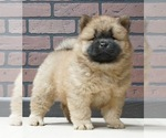 Puppy 1 Chow Chow