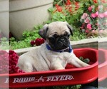 Small Photo #3 Pug Puppy For Sale in CHARLOTT HALL, MD, USA