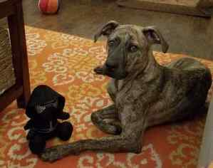 Plott Hound-Unknown Mix Dog For Adoption in CENTRAL, SC, USA