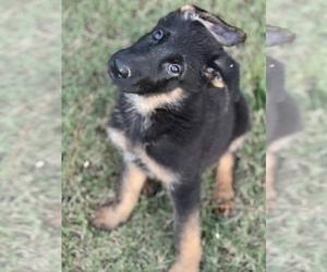 German Shepherd Dog Puppy for sale in COVINGTON, TN, USA