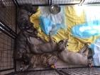 Irish Wolfhound Puppy For Sale in SAN DIEGO, CA, USA