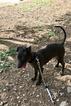 AKC Registerable Italian Greyhound