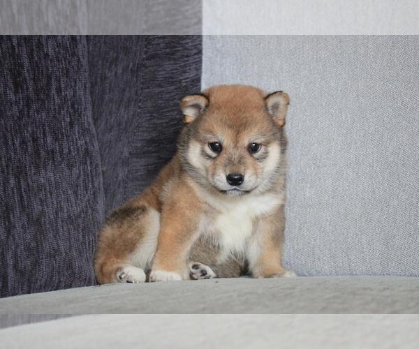 Medium Photo #8 Shiba Inu Puppy For Sale in MIAMI, FL, USA