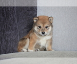 Small Photo #8 Shiba Inu Puppy For Sale in MIAMI, FL, USA