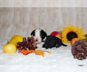 Miniature Bernedoodle Puppy for Sale in NEWTON, Illinois USA