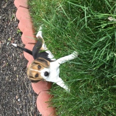 Beagle Dogs for adoption in DURHAM, NC, USA