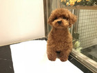 Poodle (Toy) Puppy For Sale in SAN JOSE, CA, USA