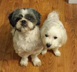 Shih Apso Dog For Adoption in MIDDLETOWN, CT, USA
