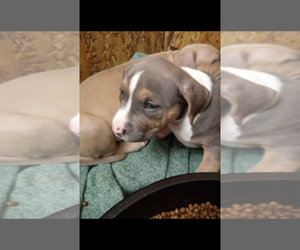American Staffordshire Terrier Puppy for Sale in NEENAH, Wisconsin USA