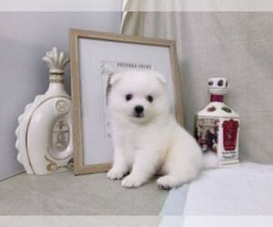 Japanese Spitz Puppy for sale in IRVINE, CA, USA
