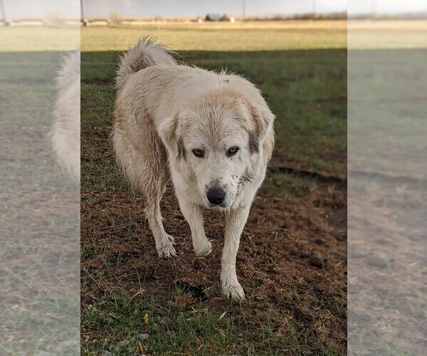 Medium Photo #98 Great Pyrenees Puppy For Sale in FALCON, CO, USA