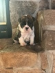 English Bulldog Puppy For Sale in HILLSBOROUGH, NJ, USA