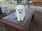 Teacup Maltese Boy