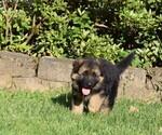 Small #19 German Shepherd Dog