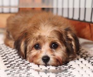 Yo-Chon Dog for Adoption in NAPLES, Florida USA