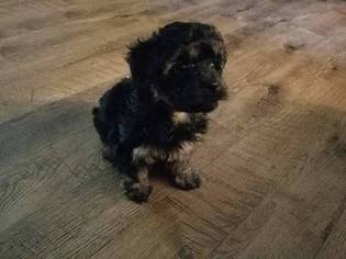 Poodle (Toy)-Yorkshire Terrier Mix Puppy For Sale in PATOKA, IL, USA