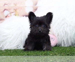 Yorkie-Poo Puppy for sale in MARIETTA, GA, USA