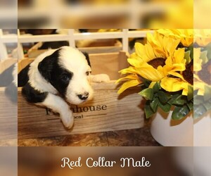 Sheepadoodle Puppy for sale in MOULTRIE, GA, USA