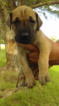 Great Dane Puppy For Sale in GAINESVILLE, TX,