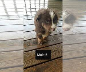 Australian Shepherd Puppy for sale in WESTPORT, IN, USA