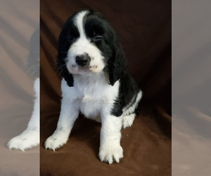 English Springer Spaniel Puppy for Sale in ODESSA, Washington USA