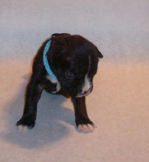 Boxer Puppy For Sale in FORT WORTH, TX, USA