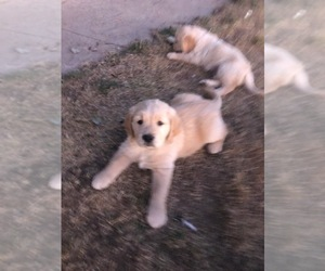 Golden Retriever Puppy for Sale in CO SPGS, Colorado USA