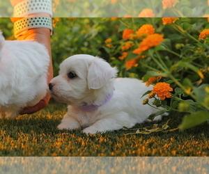 Maltipoo Puppy for Sale in LAS VEGAS, Nevada USA