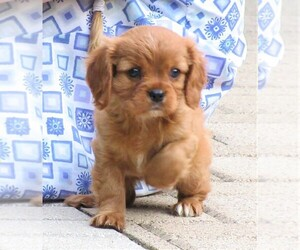 Cavalier King Charles Spaniel Puppy for Sale in REINHOLDS, Pennsylvania USA