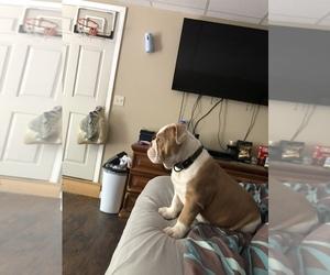Bulldog Puppy for sale in DUNBARTON, NH, USA