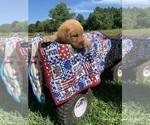 Puppy 8 Goldendoodle-Labrador Retriever Mix
