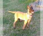 Small #1 Belgian Malinois