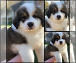 Puppy 6 Great Bernese