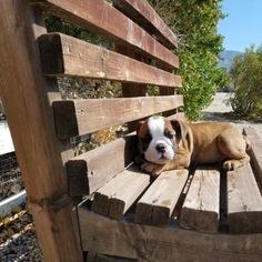 Bulldog Puppy for sale in LOS ANGELES, CA, USA
