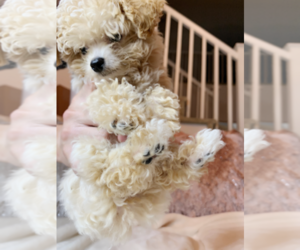 Poodle (Toy) Puppy for Sale in CHINO HILLS, California USA