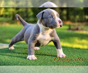 American Bully Puppy for sale in CONROE, TX, USA