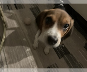 Beagle Dog for Adoption in PARKER, Colorado USA