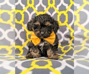 View Ad: Poodle (Toy)-Yorkshire Terrier Mix Dog for ...