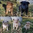 Miniature Australian Shepherd Puppy For Sale in ASSARIA, KS, USA