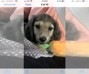 Dachshund Puppy for sale in ST MATTHEWS, KY, USA