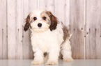 Cavachon Puppy For Sale in MOUNT VERNON, OH,