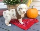 Australian Shepherd Puppy For Sale in ROBERTS, IL,