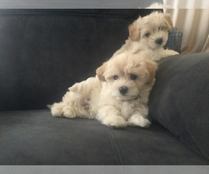 Maltese-Maltipoo Mix Puppy for Sale in WEST POINT, New York USA