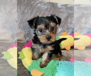 Yorkshire Terrier Puppy for sale in CHESTER, VA, USA